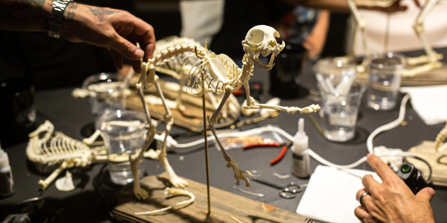 Oddities and Animals: Learn How to Assemble a Cat Skeleton